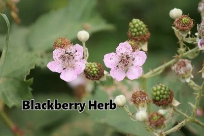 blackberries-3481349__340